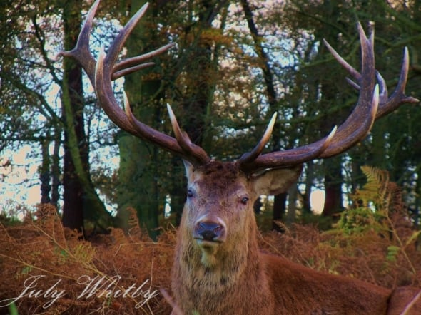 Stag Rutting Season