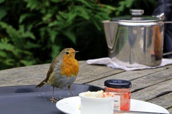 Robin for Tea