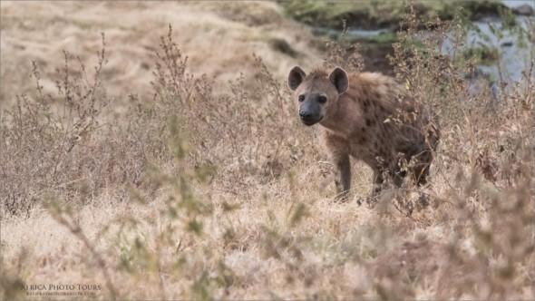 Hyena in Tanzania