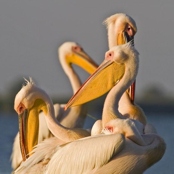 Pelicans at Dawn