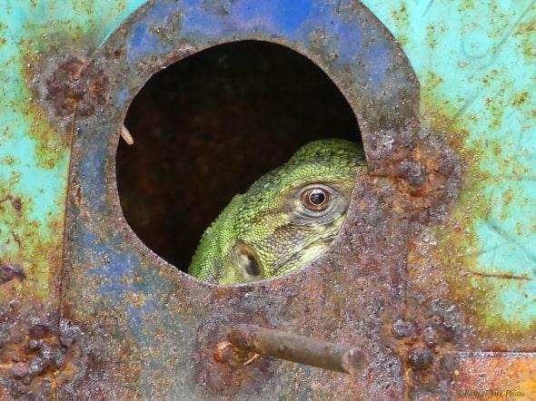 Green Lizard Invading Civilization