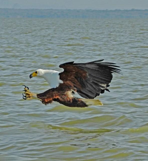 A Fishing Eagle - African Fish Eagle