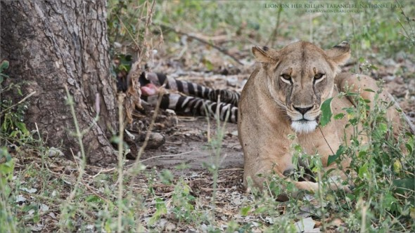 Female Lion Guarding a Kill