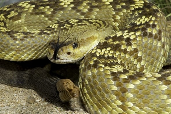 Az Black-tailed Rattlesnake