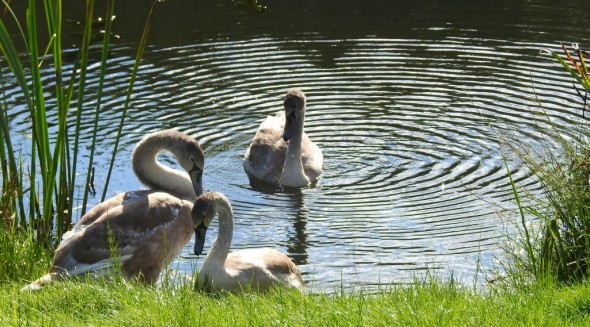 Swan Cygnets - Peaceful Day Out