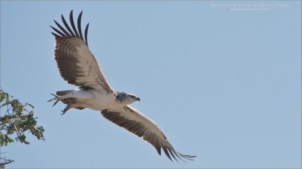 Juvenile Crowned Eagle - Tanzania Photo Tours
