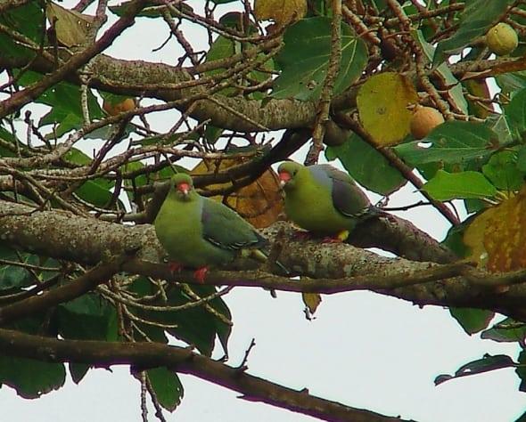 African Green Pigeon - Treron Calva