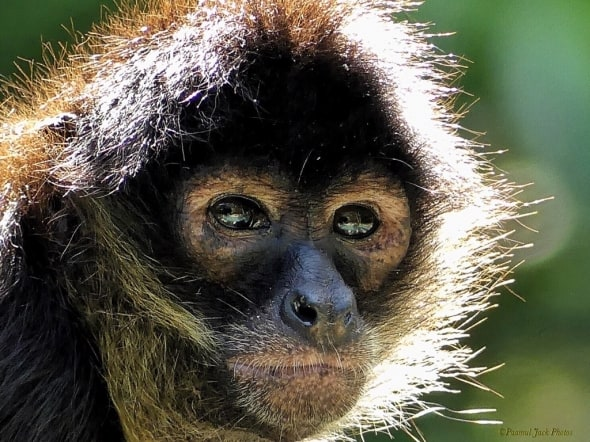 A Spark of Intelligence - (Spider-monkey)