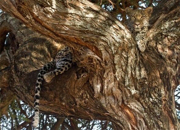 Resting Female Leopard