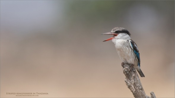 Africa Photo Tours - Striped Kingfisher