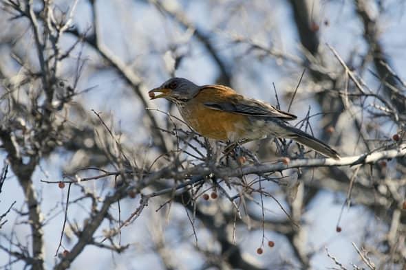Rufous-backed Robin Feeding on Hackberry