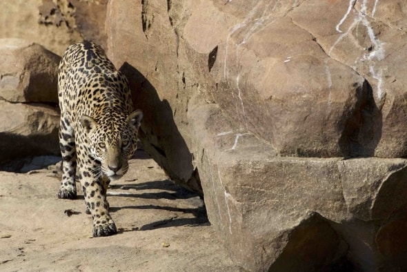 Jaguar on the Rocks!