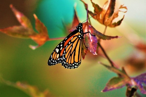 Monarch on a Maple Tree