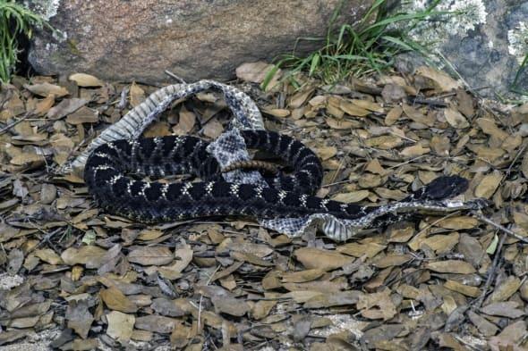 Arizona Black Rattlesnake with Shed Skin