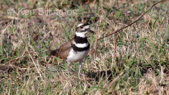 Killdeer (Charadrius vociferus) (4)