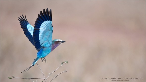 Lilac-breasted Roller - Africa Tours