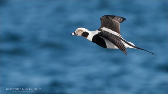 Long-tailed Duck in Flight - Workshops