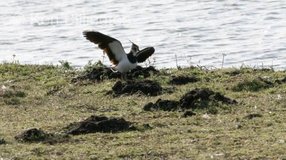 Northern Lapwing (Vanellus vanellus) (01)