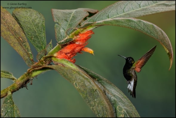 Black-bellied Hummingbird (Eupherusa nigriventris)