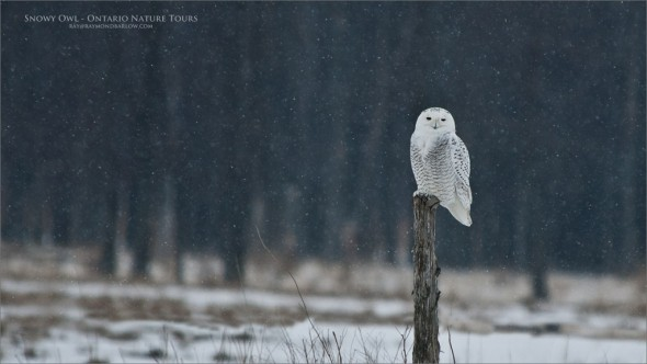 Snowy Owl Tours