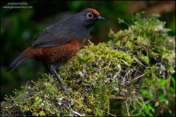 Black-throated Huet-huet (Pteroptochos tarnii)