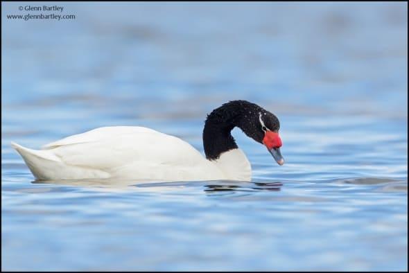 Black-necked Swan(Cygnus melancoryphus)