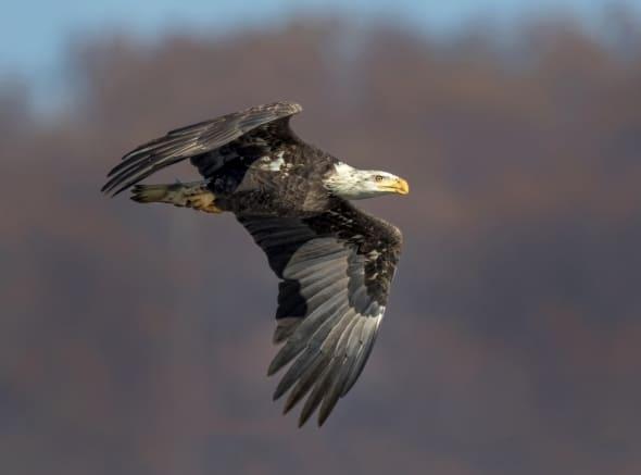 Sub-adult Balk Eagle