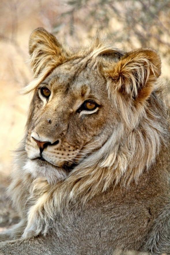 Kalahari Adonis