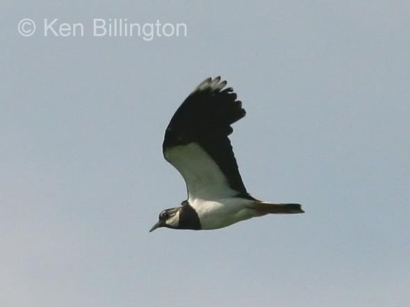 Northern Lapwing (Vanellus vanellus) (09)