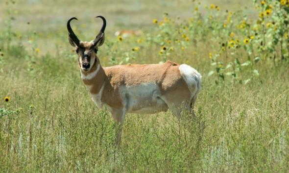 Pronghorn - Male