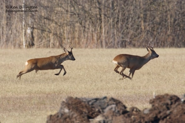 Roe Deer Jogging Along