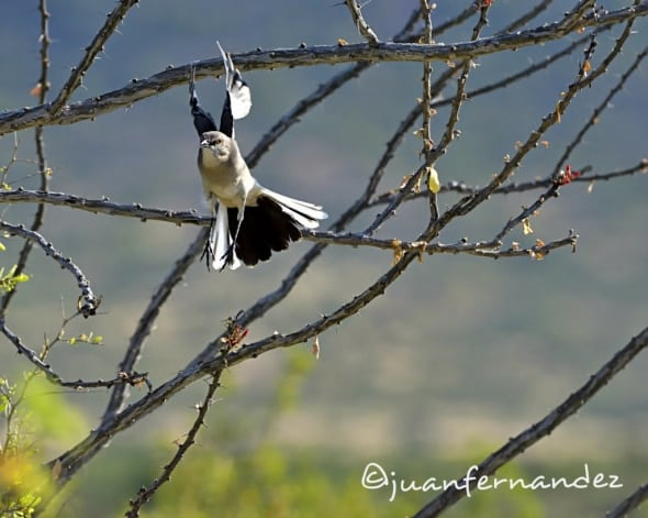 Northern Mockingbird Young