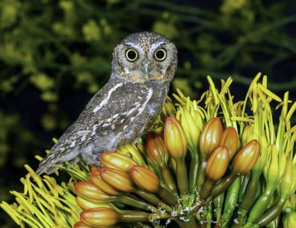 Elf Owl 5. 75 Inches on Yucca Flower