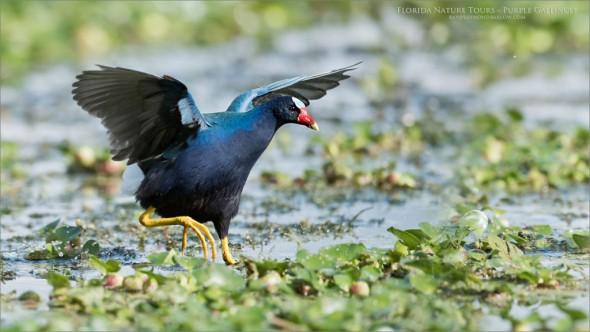 Florida Tours - Purple Gallinule