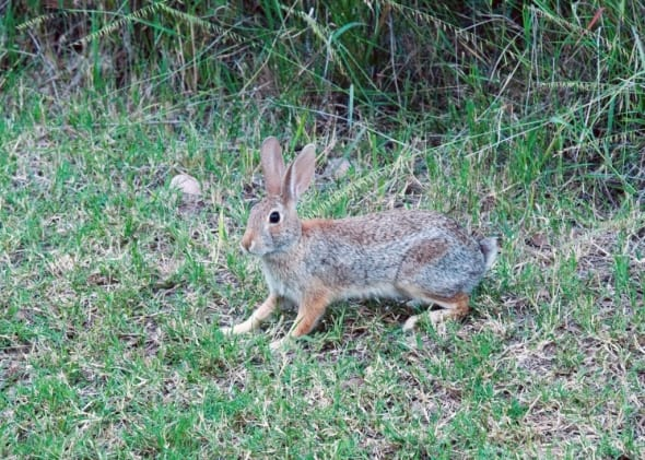 Desert Cottontail Rabbit-sylvialgus Audubonii