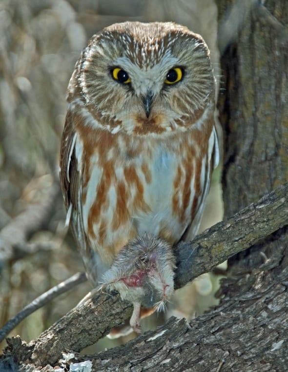 Northern Saw-whet Owl W/prey