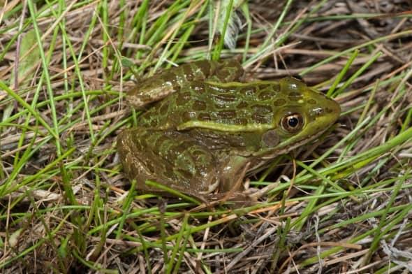 Chiricahua Leopard Frog -rana Chiricahuensis