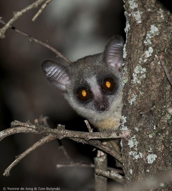 Kenya Lesser Galago
