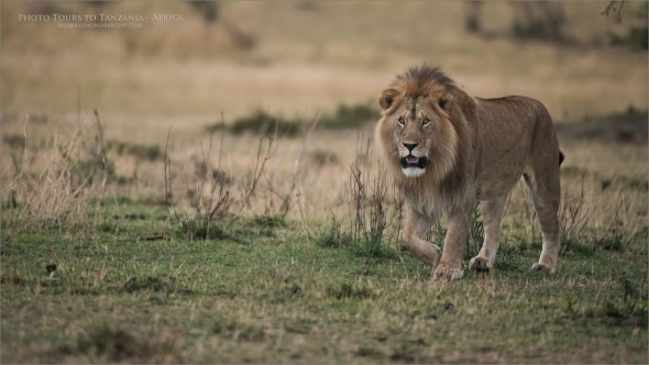 Male Lion Hunting for a Mate