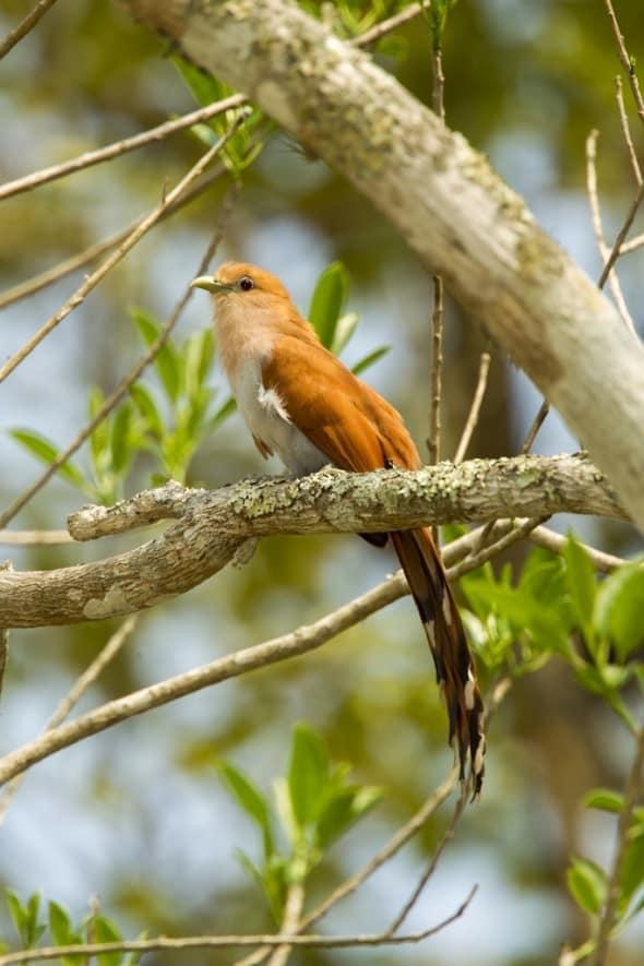 Squirrel Cuckoo - Piaya Cayana Mexicana
