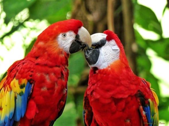 A Kiss of Passion - Yucatan Parrots