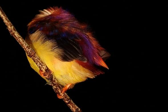 Sleeping-oriental Dwarf Kingfisher