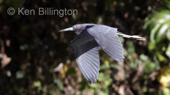 Little Blue Heron (Egretta caerulea) (2)