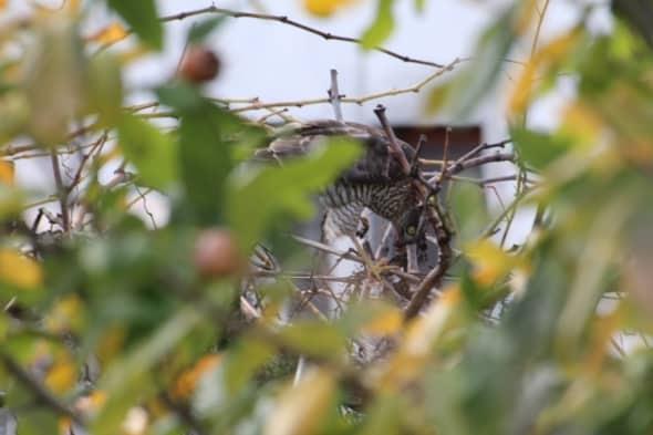 An Eurasian Sparrow Hawk (Accipiter Nisus)