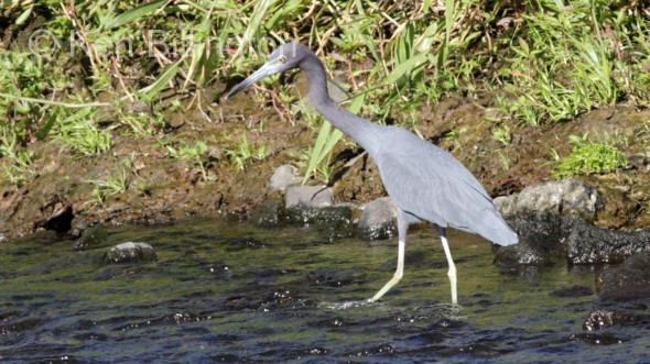 Little Blue Heron (Egretta caerulea) (3)