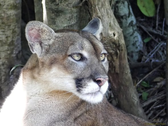 Who's There? - (Yucatan Puma)
