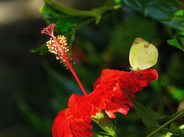 Hibiscus -  Butterfly Attraction