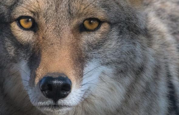 Coyote Mirror