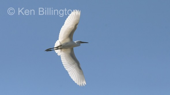 Little Egret (Egretta garzetta) (01)