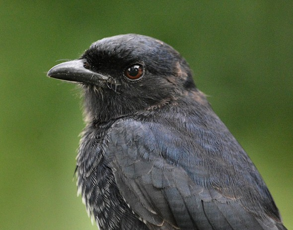 A Very Patient Fork-tailed Drongo